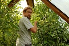 Manuel bindet die Tomaten hoch.