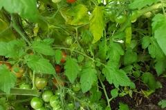 Unsere Tomaten im Gewächshaus.